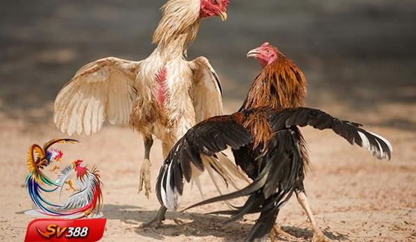 Kiat-Kiat Mendapatkan Kemenangan Permainan Adu Ayam Terkini
